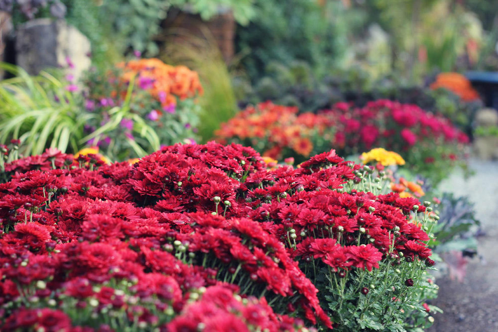 reduced Fall mums vibrant!.jpg