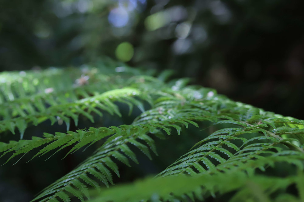 Tasmanian Fern