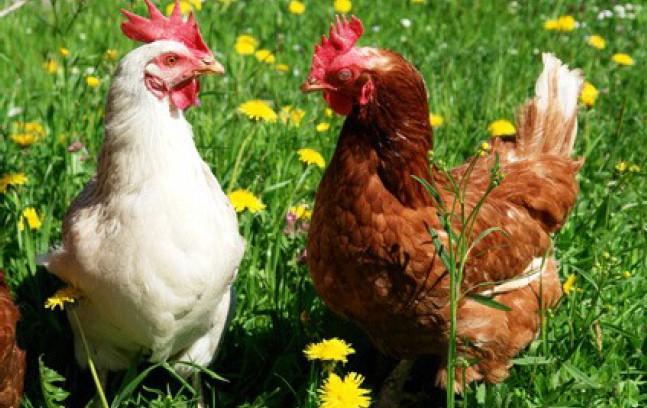 """""""Es gibt Mais!"""" – Hühner unterhalten sich sinnbringend."""