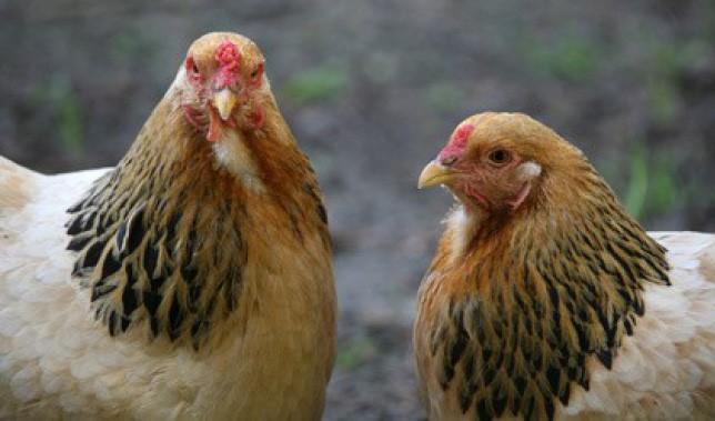 """""""Was will die denn hier?"""" – Hennen mustern Neuzugänge ab"""