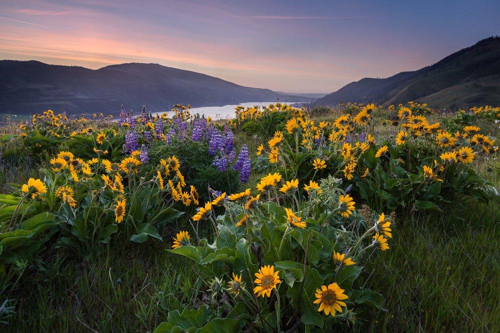 Sunflower Sunrise  Columbia River Gorge, Oregon