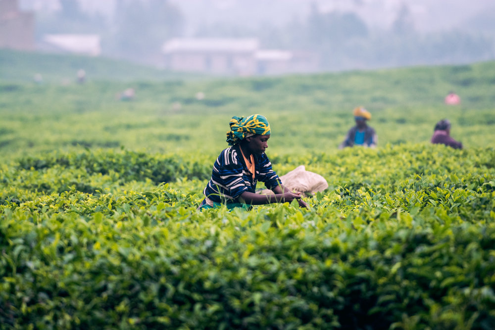 Workers on a Tea Plantation in East Africa. Public-Private Partnerships can help facilitate the creation of roads and ports to help farmers bring their tea to the international markets.