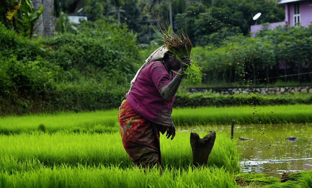 Worker in a rice field. Public-Private Partnerships can help sell this staple food with the creation of roads, bridges, and ports to export steady supplies to Continental Africa.