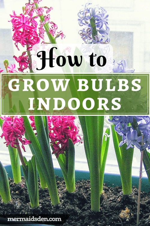 Lazy Gardener's Guide to Growing Bulbs Indoors
