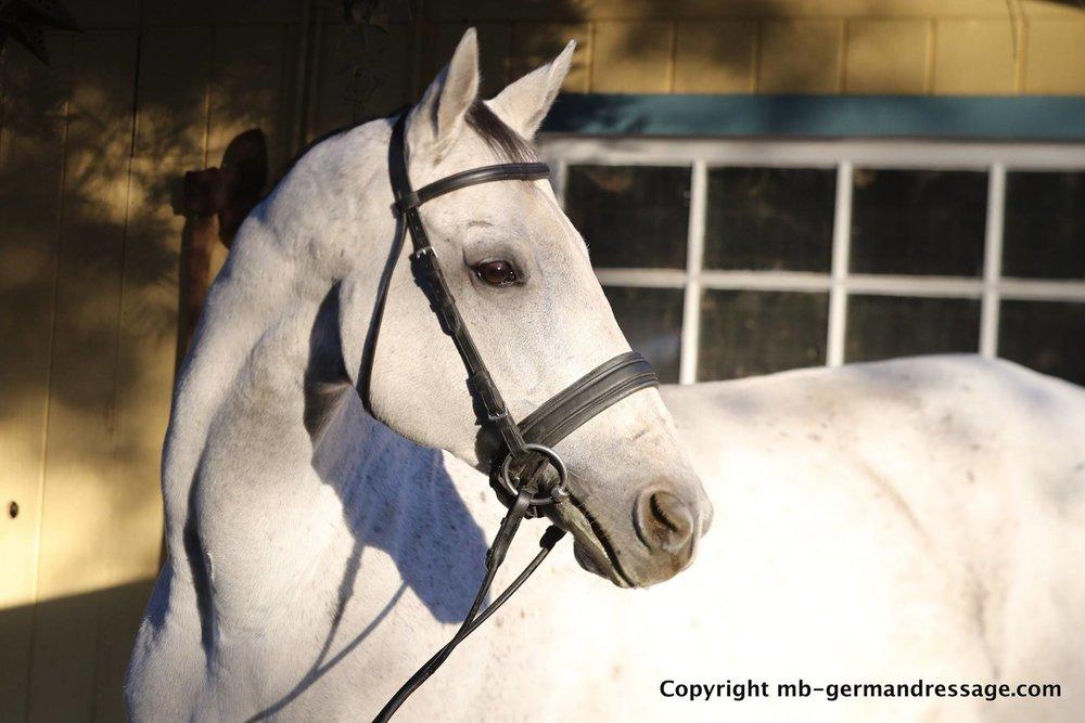 Dressage Horse sale CB Sporthorses.jpg