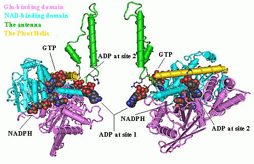 Allosteric Regulation of Oligomeric Dehydrogenases