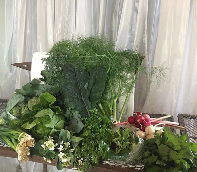 No time for staging, so a quick snap of our full CSA share looking straight out of an eighties music video. . Broccoli heads, romaine, green onion, flowering broccoli, kale, cilantro, loose leaf lettuce, fennel, rhubarb, radish, turnips, and celery. . We'll be at Lincoln Park Farmers Market with these crops today from 4-7!! # #csa #farmersmarket #foodforeveryone #ecologicallygrown #communityactionduluth #lincolnparkfarmersmarket #hillsidefarmersmarket #moramn #cambridgemn #duluthmn #knowyourgrower #comevisit