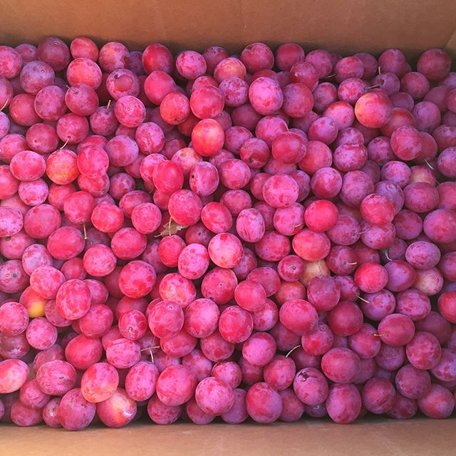 Plums from Rye's parents' trees in the CSA this week // Paper pot transplanter- carrots have been a surprising success // Thanks so much @grass.farmer & @nelsongrassfarm for the unbelievable pasture raised/grazed chickens. Fellow Minnesotans that may see this post- buy from this farm if ya know whats good for ya! # #minnesotafarm #minnesotagrown #fruitsoftheearth #paperpottransplanter #carrots #agroecology #nelsongrassfarm #supportyourlocalgrowers #rewilding #transition #notill #farmforclimate