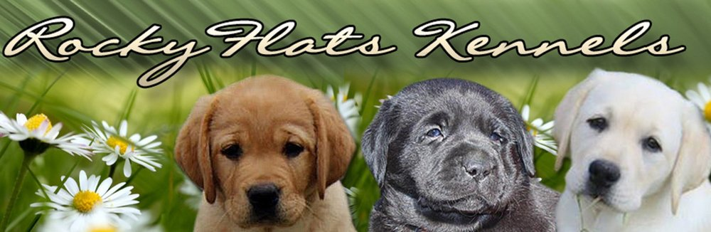 A small selective breeding kennel specializing in breeding English Standard AKC Registered Labrador Retrievers in Yellow, Black and Fox Red.