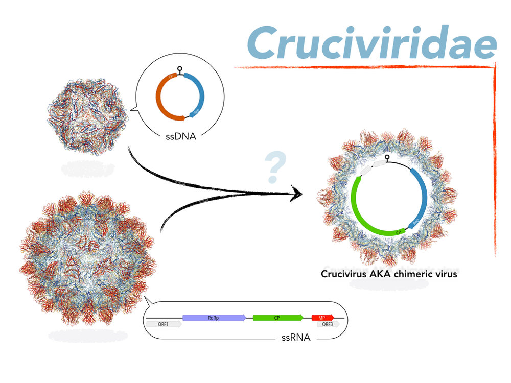 Cruciviridae  may be the result of recombination between a ssDNA virus and a ssRNA virus.     The capsid protein encoding genes of      Cruciviruses have most homology to ssRNA viruses, while the Rep encoding genes have most homology to ssDNA viruses.