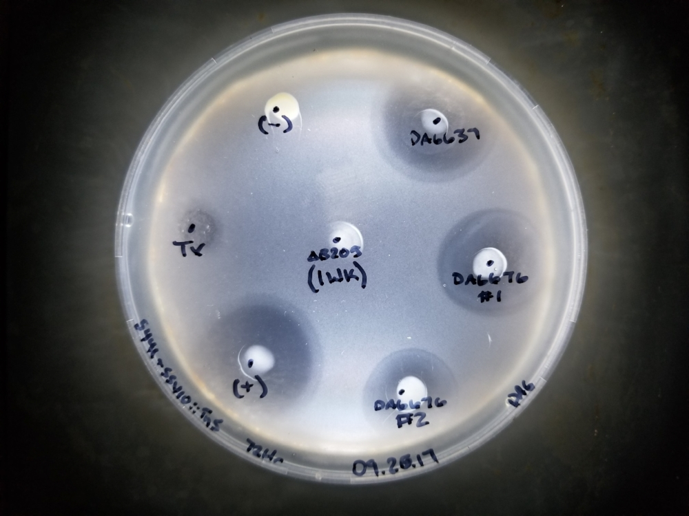 A halo assay testing the infectivity of SSV10 mutants. Notice the difference in border sharpness, and diameter each of the mutants have.