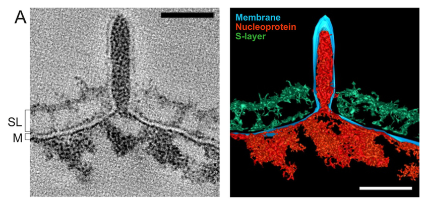 TEM & rendering of SSV1 budding through the host cell membrane and S-layer. From the  2016 Quemin et al. paper   Eukaryotic-Like Virus Budding in Archaea . These beautiful images show how SSV1 fuses with the host cell membrane during egress.