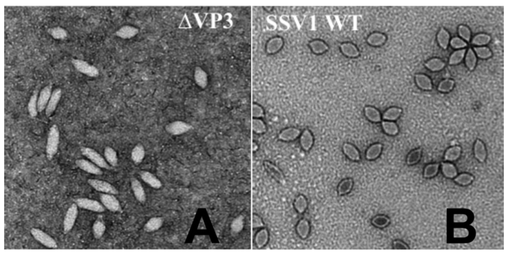 "The strangely ""cigarillo"" shaped viruses that result from the deletion of the vp3 capsid gene (left), as compared to the wild type SSV1 (right)."