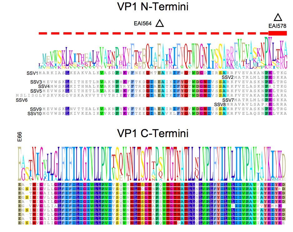 A figure from our 2017 paper  Genetic Analysis of the Major Capsid Protein of the Archaeal Fusellovirus SSV1: Mutational Flexibility and Conformational Change,  showing the residue conservation of the vp1 N-terminus across different SSVs.