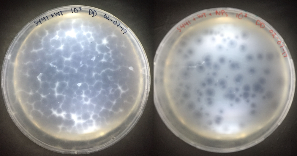 Plaque assays using  Saccharolobus solfataricus  infected with WT SSV1. The plate on the left, incubated without AgNPs, shows a significantly higher number of plaques than the plate incubated  with  the AgNPs (plate on the right). These were the promising results that showed AgNps could be used as an antiviral.