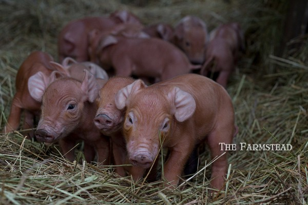 Baby-Tamworth-Pigs.jpg