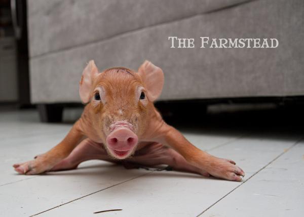 Kitchen-Pig1.jpg
