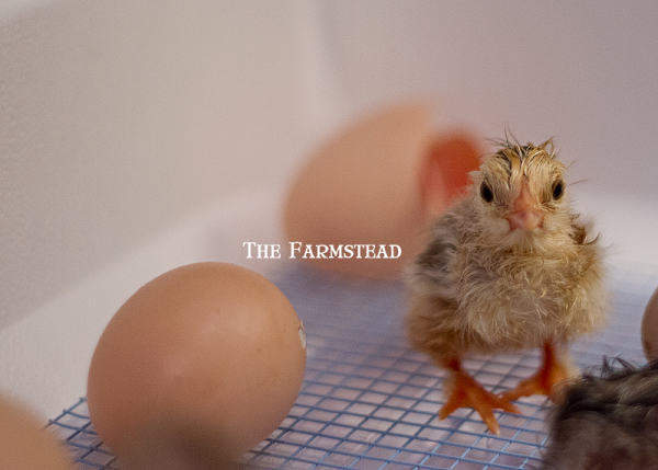 Farm-Hatched-Laying-Hens.jpg