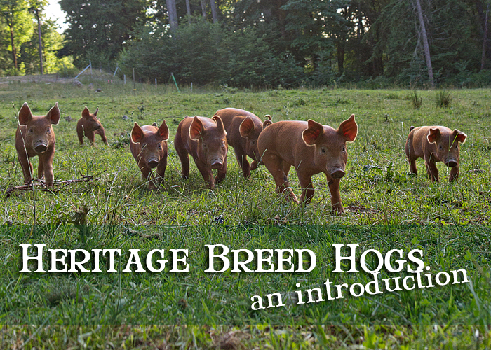 Heritage-Breed-Hogs.jpg
