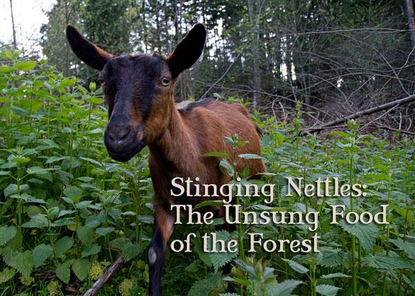 Stinging-Nettles.jpg