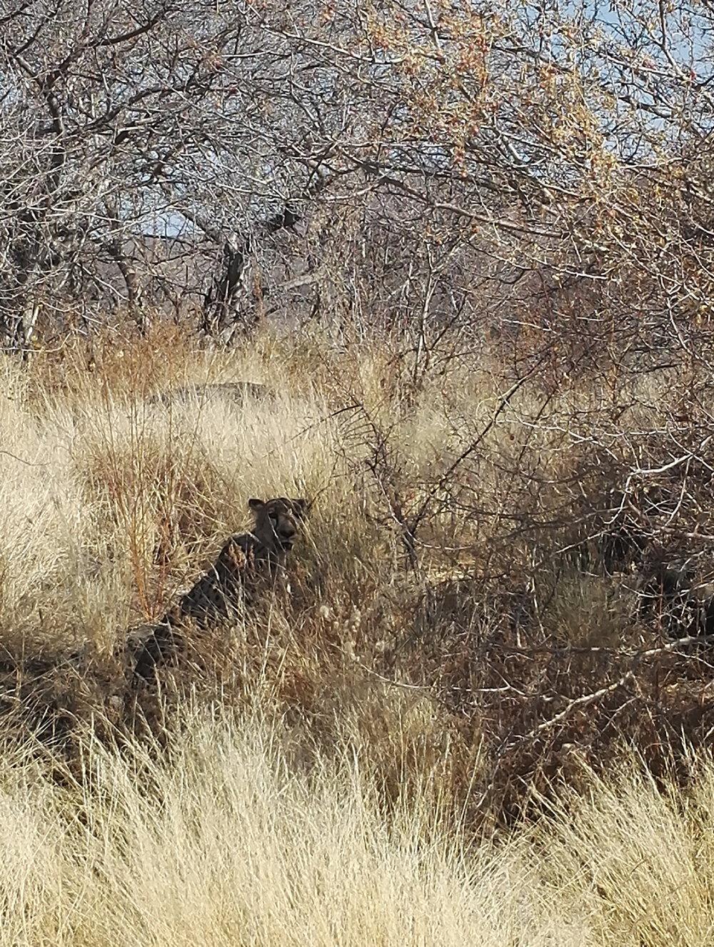 Löydätkö kuvasta gepardin?