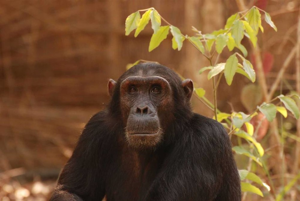 Gombe Forest Lodge | Gombe Chimps
