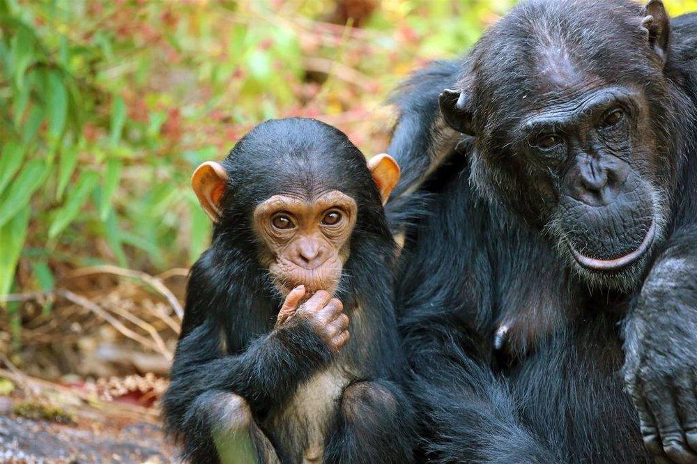 Kungwe Beach Lodge | Kungwe Chimp