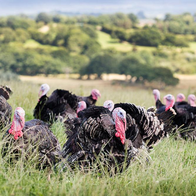 turkeys-usk-vale.jpg