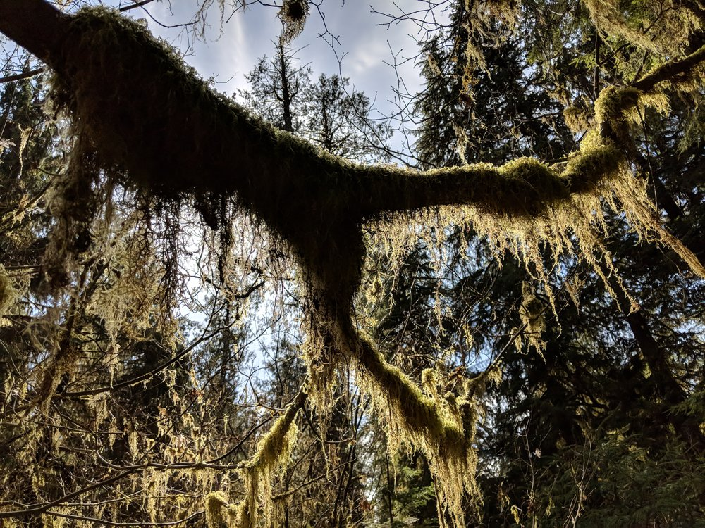 Mossy limbs in the Hoh Rainforest