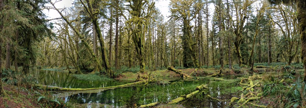 Maple Glade - Quinault Rainforest