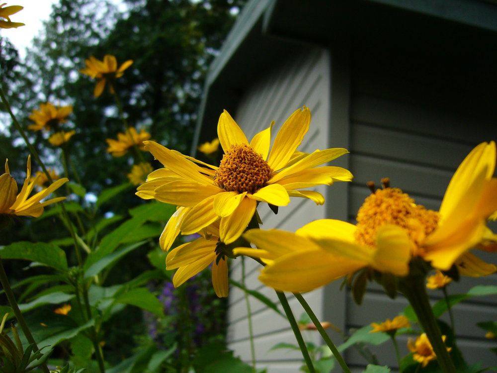 Coreopsis - my grandmother's favorite