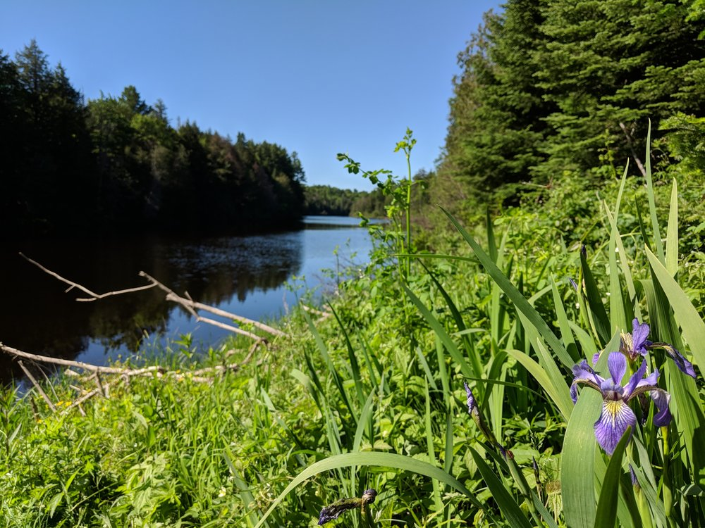 An Iris and a view of the Tahquamenon River