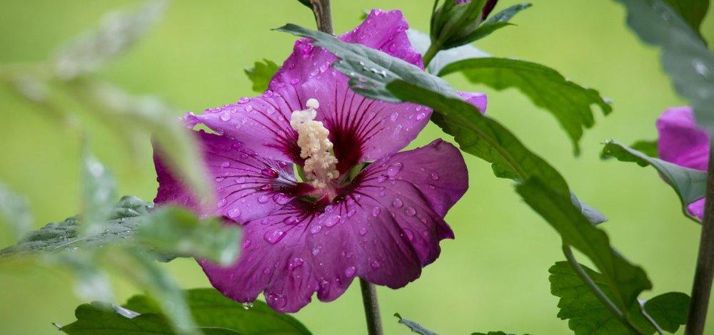 hibiscus-938103_1920-1170x550.jpg