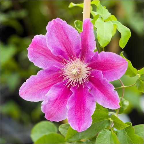 parkside_nursery_clematis_flower_4420.jpg