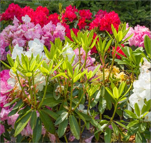 parkside_nursery_rhododendrons_4396.jpg