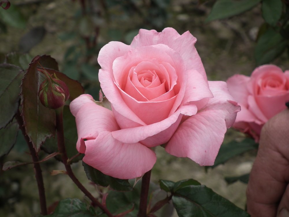 Hybrid Tea - Renowned for their large flowers of perfect form and many with a lovely fragrance, Hybrid Teas make a beautiful display in the garden and are wonderful as cut flowers in the home.Click Here to See Our Range of Hybrid Tea Roses