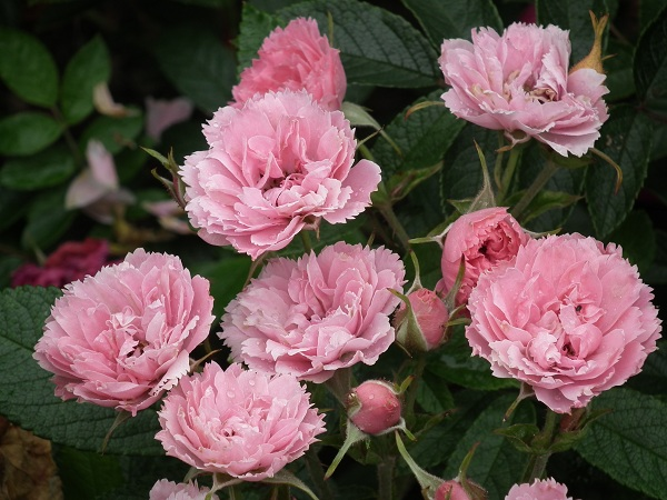 Shrub - The term shrub covers a variety of roses, from bushy specimens to hedge roses. Generally hardy and disease-resistant, shrub roses provide a lot of blooms. The size varies with the variety. See Our Range Of Shrub Roses Here