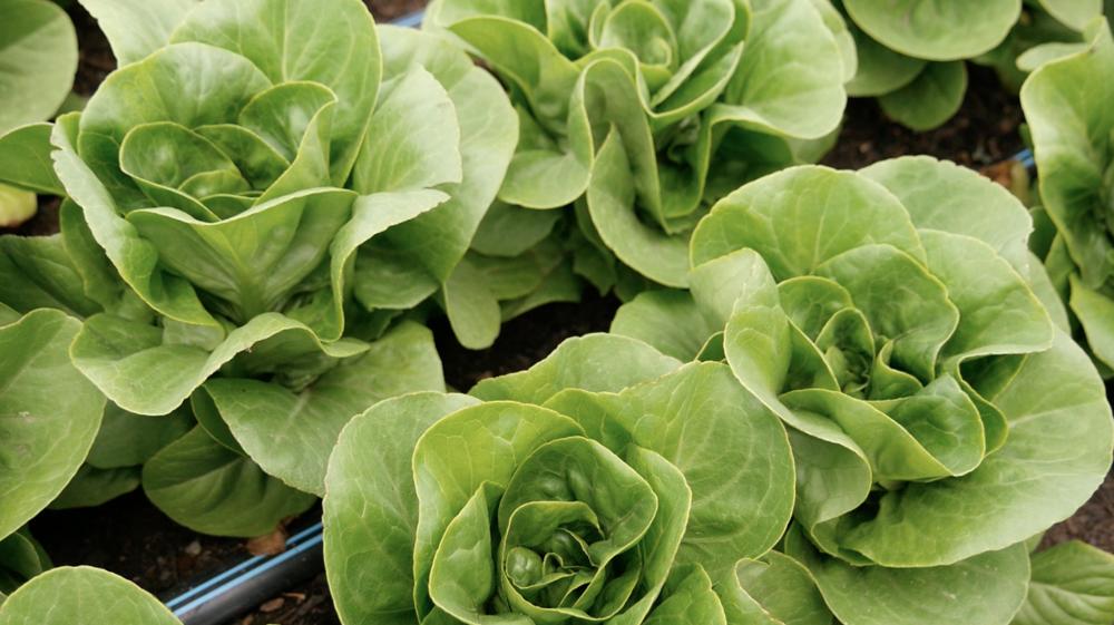 Lettuce Intensive.png