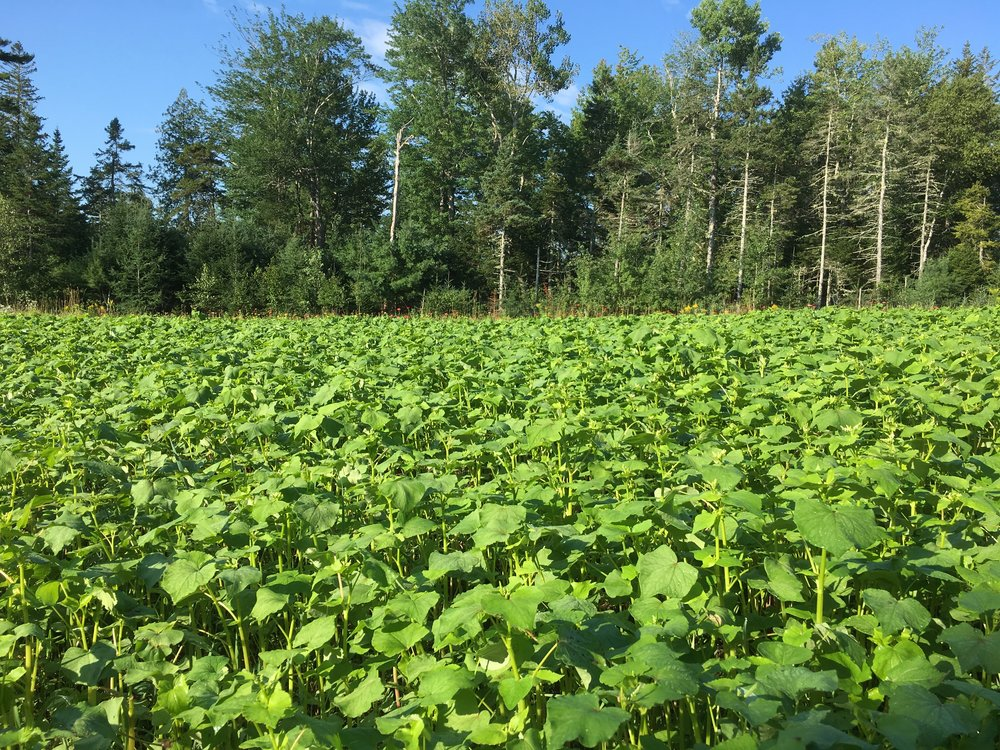 Buckwheat Cover Crop.JPG