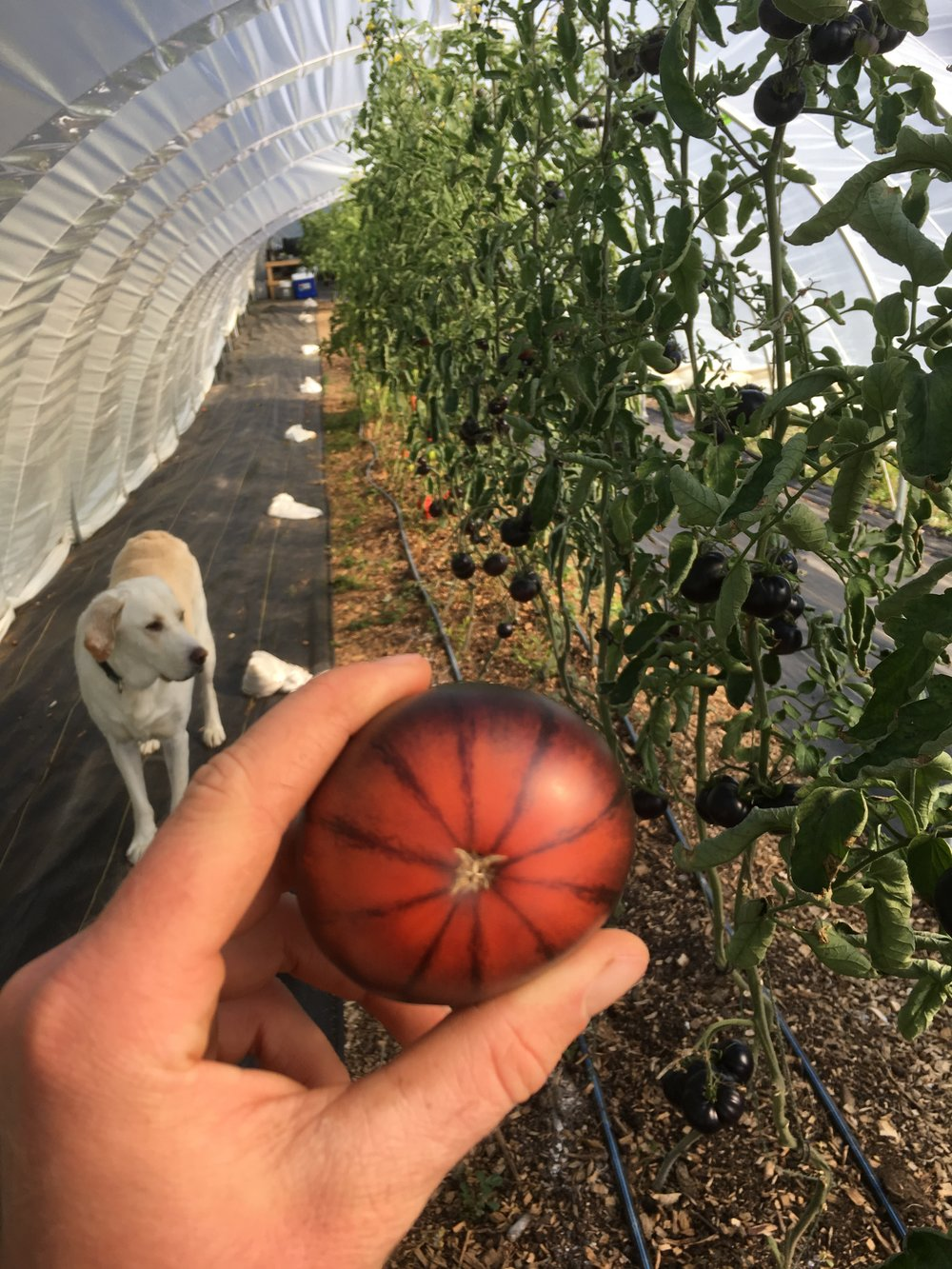 Black Beauty Tomato.JPG