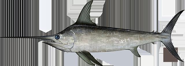 Atlantic Swordfish