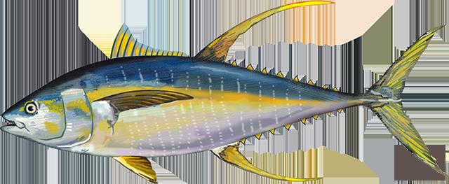 Atlantic Yellowfin Tuna