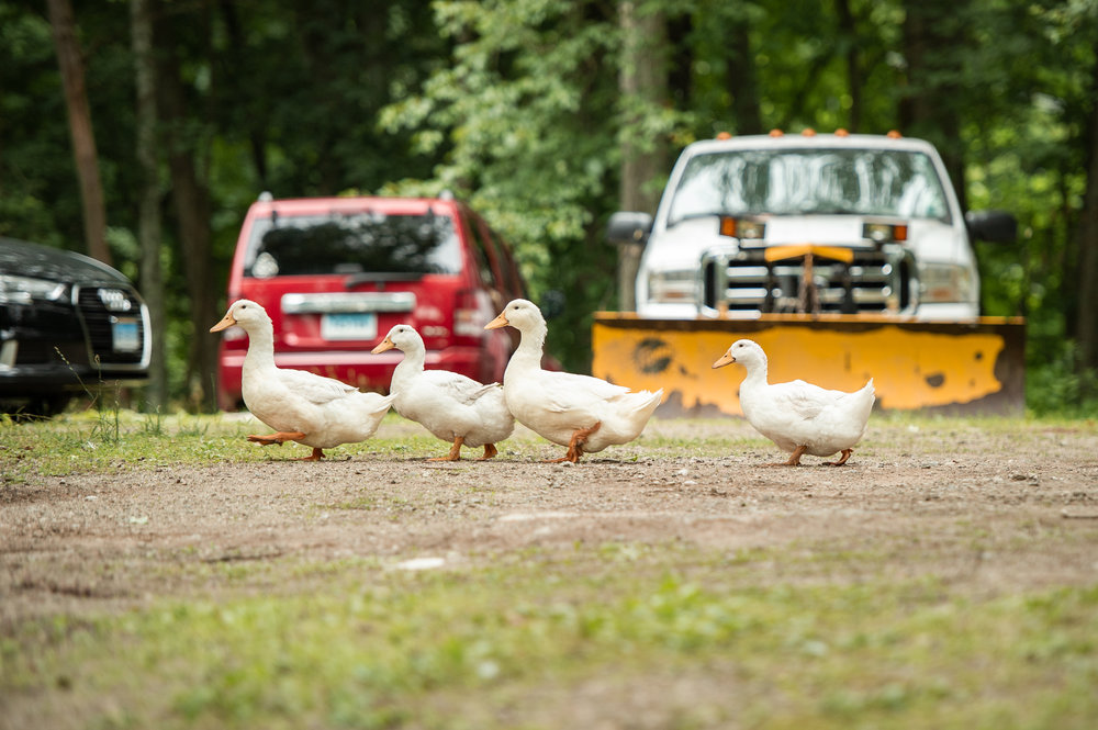 One of our favorite things about the wedding was watching these ducks walk around the property the entire day. They kept their distance but always kept their eyes on the action.