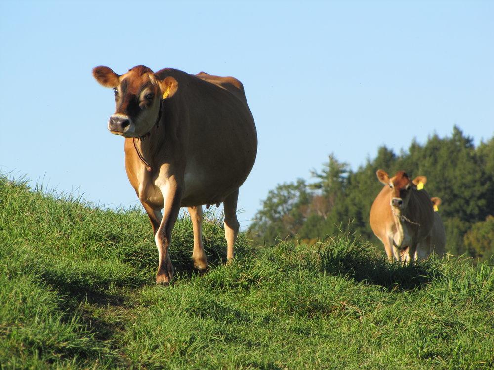 Jericho Hill cows.JPG