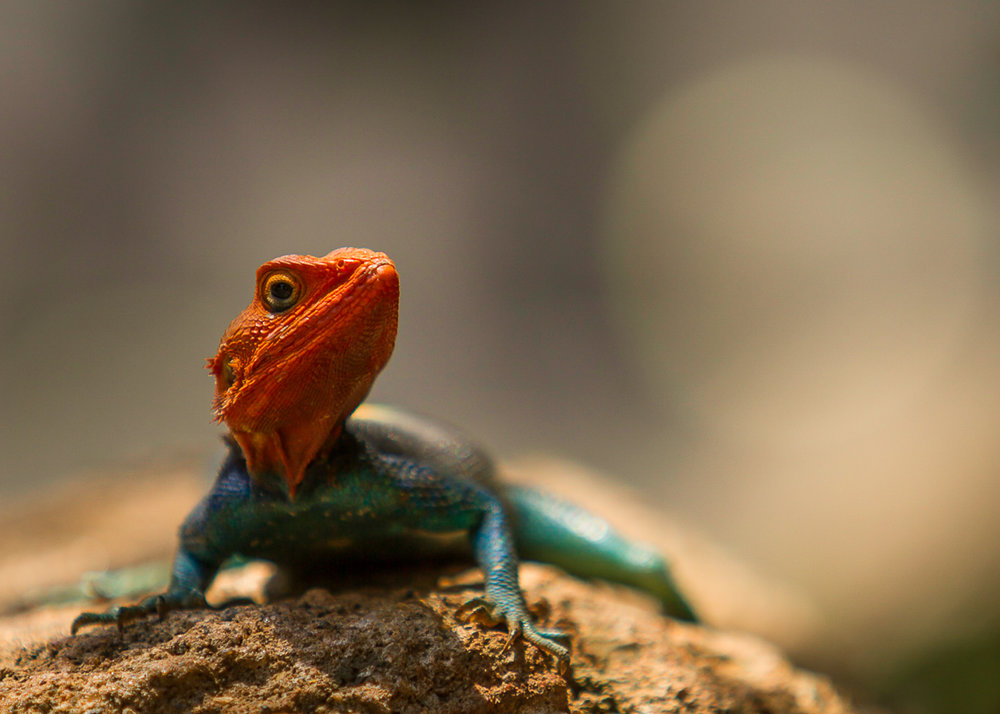 Agama Lizard in a pose-1.jpg