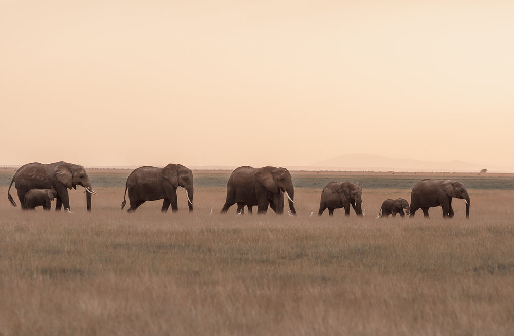 Elephants walk the Amboseli-1-2.jpg