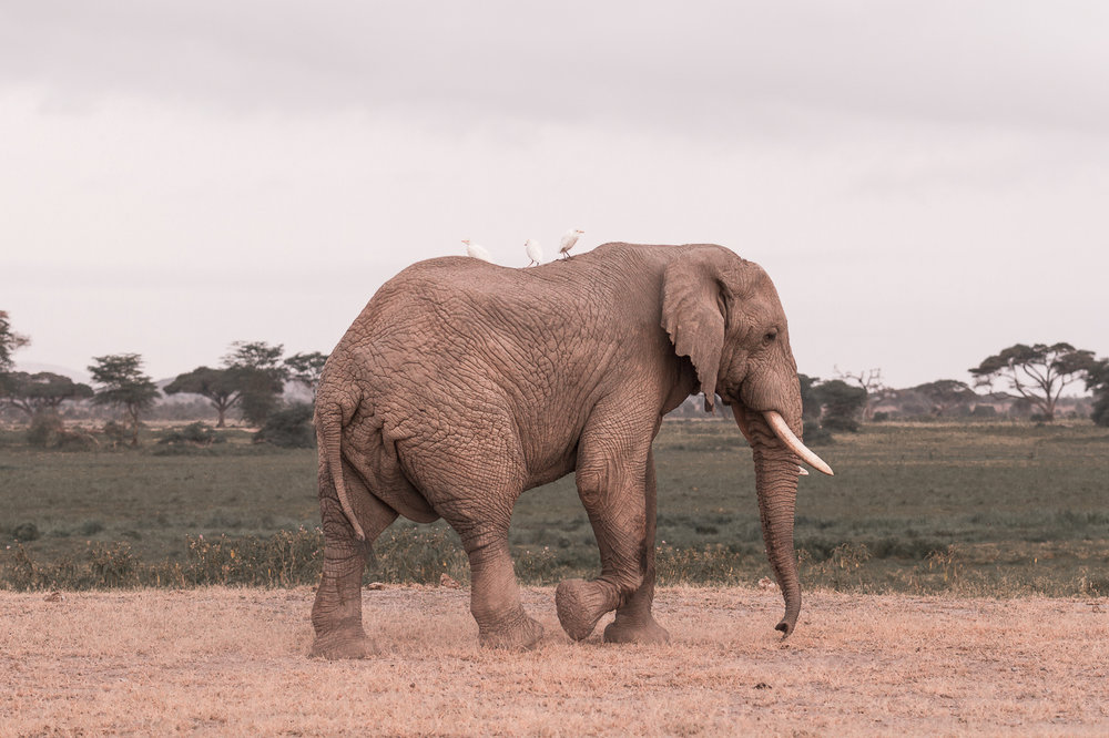 Elephant in the Amboseli-1-2.jpg
