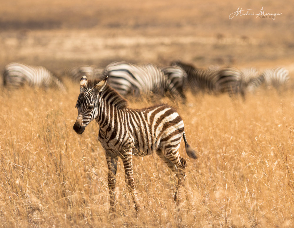 A young  Zebra in the wild