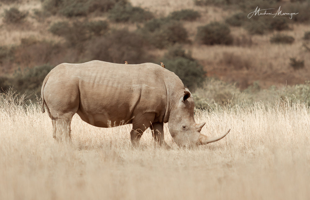 Save our Rhino