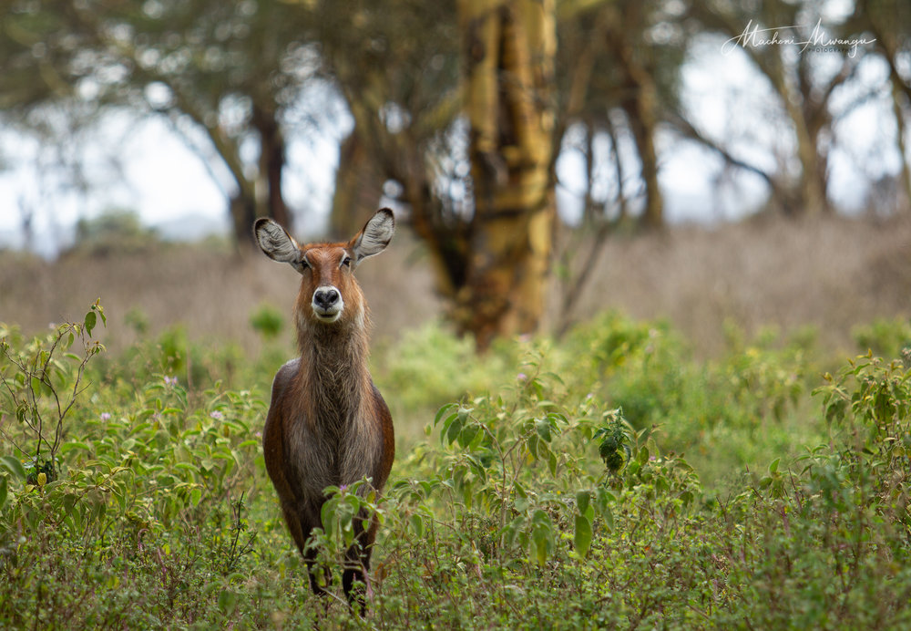 Stare of the Waterbuck